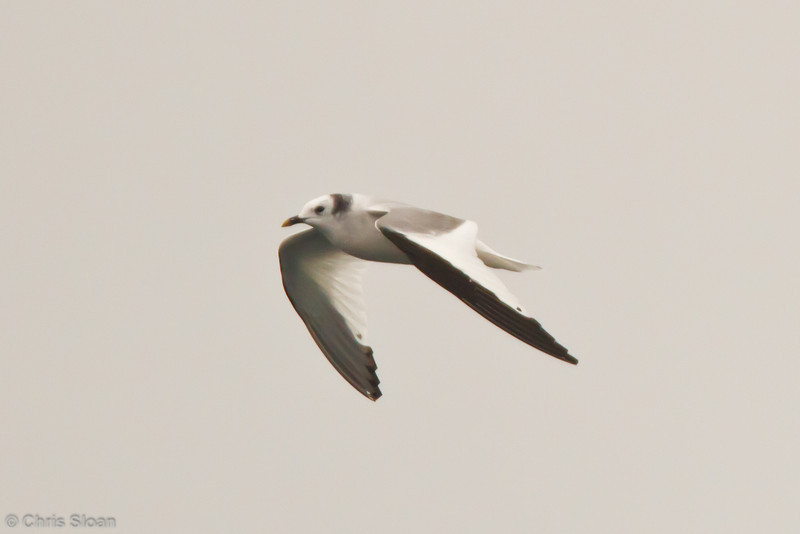 Sabine's Gull adult at pelagic out of Bodega Bay, CA (10-15-2011) - 020.jpg