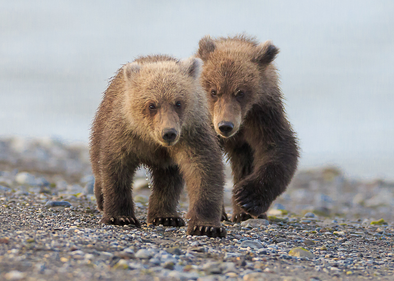 coastal brown bear cubs best.jpg