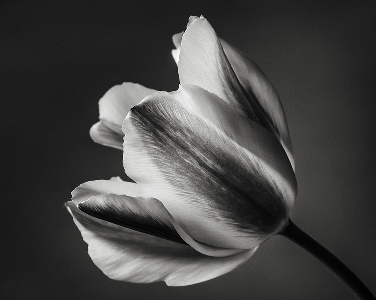viridiflora-tulip-03.jpg