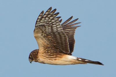 Harrier, I