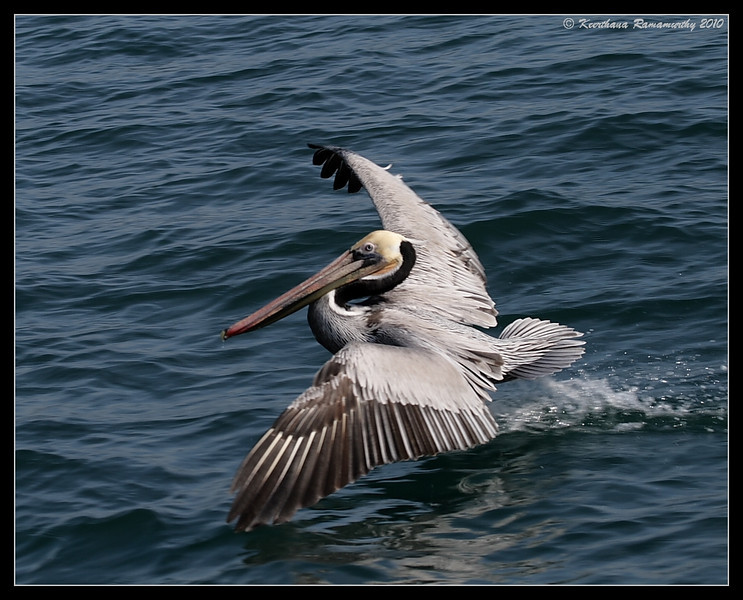 Brown Pelican just landed, Oceanside Pelagic Trip, San Diego County, California, January 2010