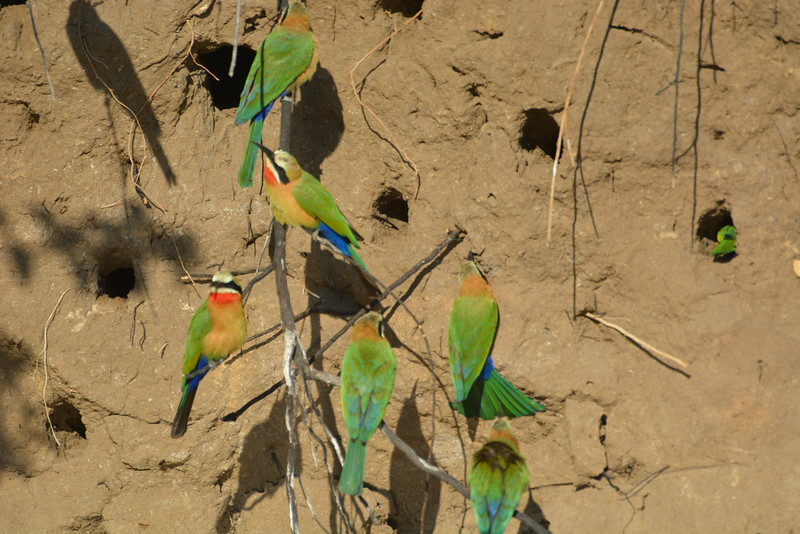 White-fronted Bee Eaters, Okavango River Near Shakawe, Botswana