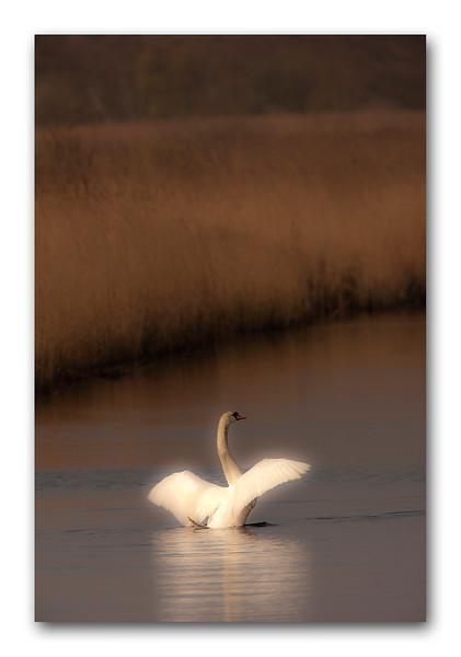 Swan 1.jpg