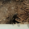 Double D thought he was a spotted king snake, but I'm pretty sure he's just a black garter snake.