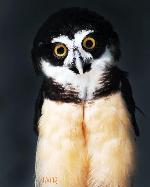 OWL .jpg