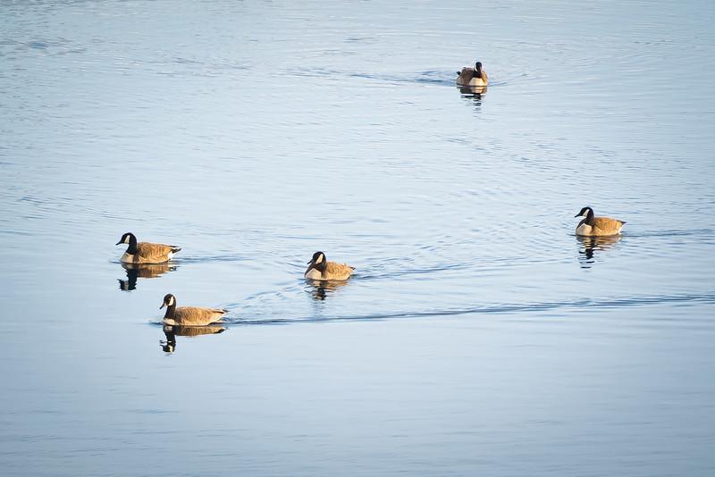 Geese 1-7990.jpg