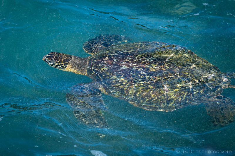 Sea turtles - Honu - near Poipu