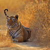 Tiger resting in golden grass in Ranthambore