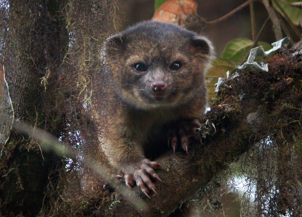 . In this handout photo provided by Smithsonian, an olinguito, a new species of Carnivore which has been newly discovered, is seen in an undated photo. The olinguito (Bassaricyon neblina) had been mistakenly identified for more than 100 years and is also the first carnivore species to be discovered in the American continents in 35 years.  (Photo by Mark Gurney for Smithsonian via Getty Images)