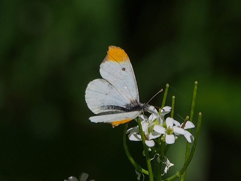 Falcate Orangetip, male