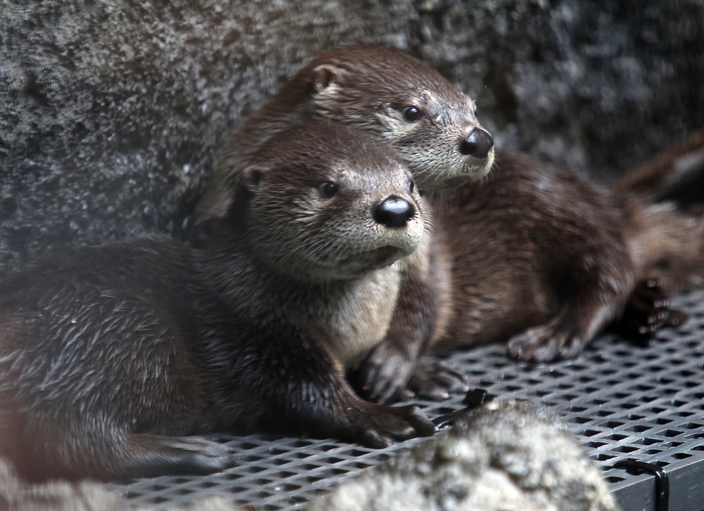 . Two of three new baby river otters are seen in their exhibit at the Oakland Zoo in Oakland, Calif., on Thursday, May 9, 2013. Three male pups, named Kohana, (swift) Hinto, (blue) and Shilah (brother) were born to river otter Ginger on February 24.  (Jane Tyska/Bay Area News Group)