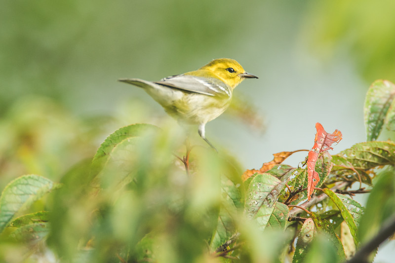 A black-throated green warbler at the Celery Bog in West Lafayette, Indiana