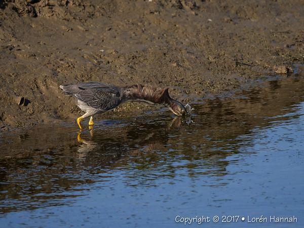 6K Photos - Green Heron fishing for breakfast - Bolsa Chica State Park - Huntington Beach, CA