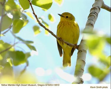 YellowWarbler13810.jpg