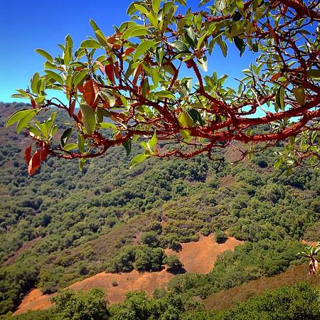 Manzanita trees on a hike through Almaden Quicksilver County Park in San Jose.