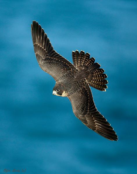 Peregrine Falcon 12.jpg
