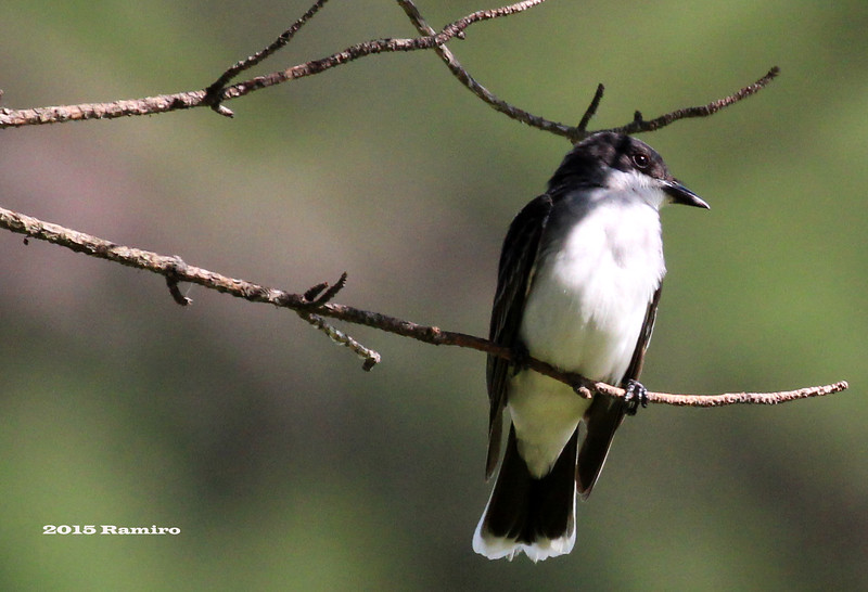 Eastern Kingbird1 5-1-15 224.jpg