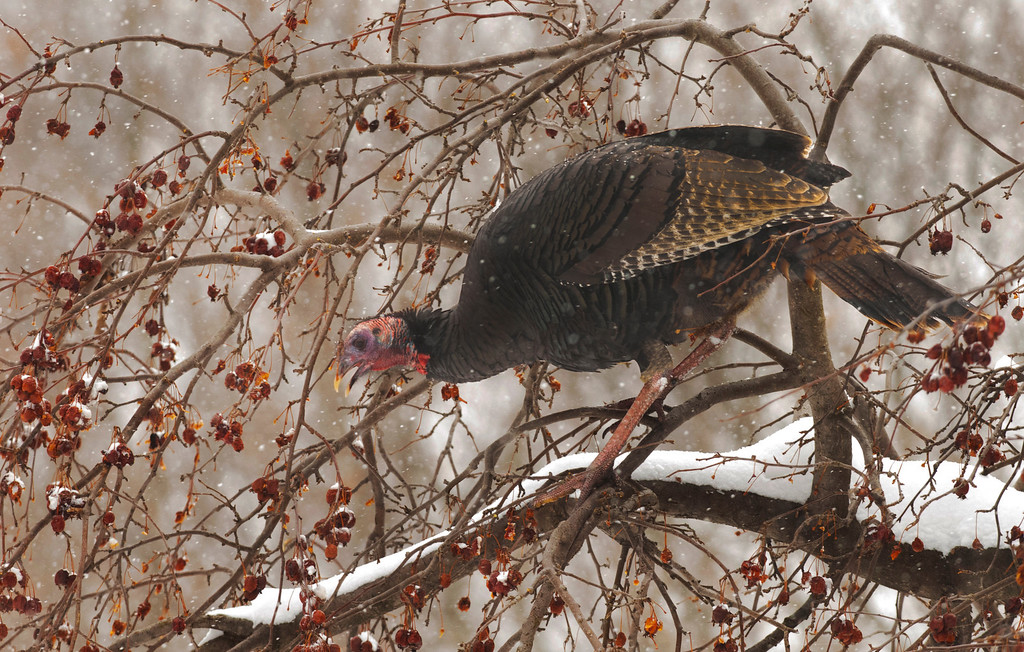 . Michael Allen Blair/MBlair@News-Herald.com A wild turkey feast on the remaining fruit of a crab apple tree Wednesday at Chagrin River Park in Willoughby.