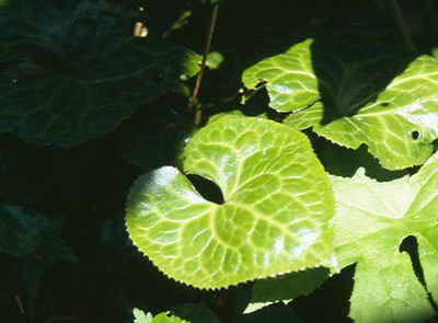 Beesia calthifolia blad