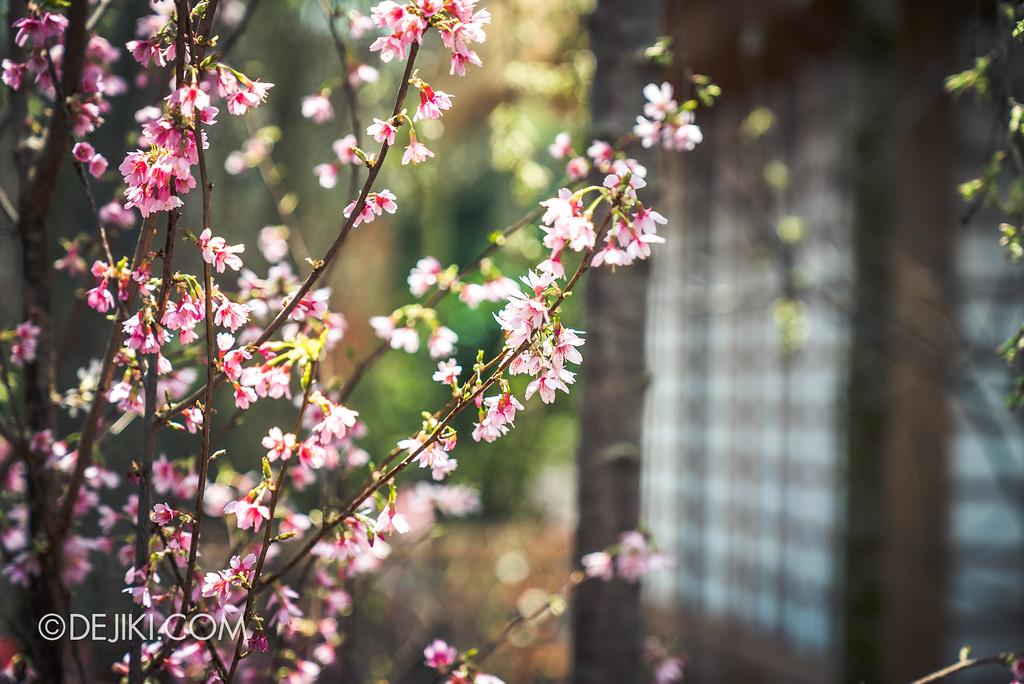 Gardens by the Bay - Sakura Matsuri 2018 floral display - flower field sakura by the house