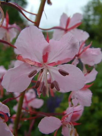 Epilobium 'Stahl Rose' close-up .jpg