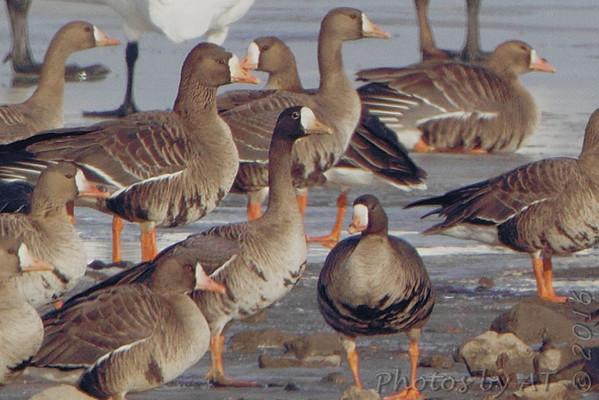 2016-01-24 Riverlands Migratory Bird Sanctuary