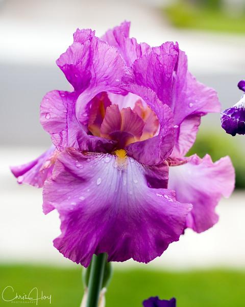Iris.8x10.jpg
