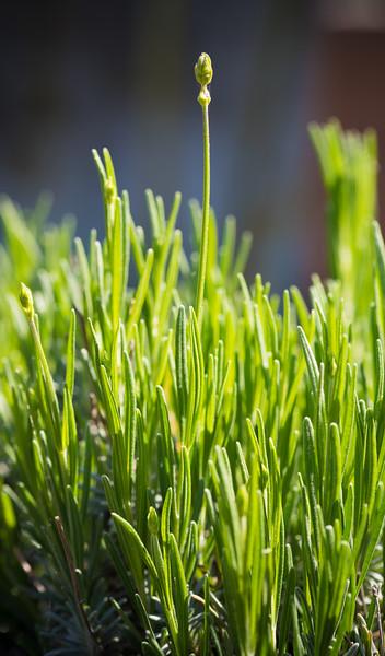Lavandula angustifolia DSC_1562.jpg