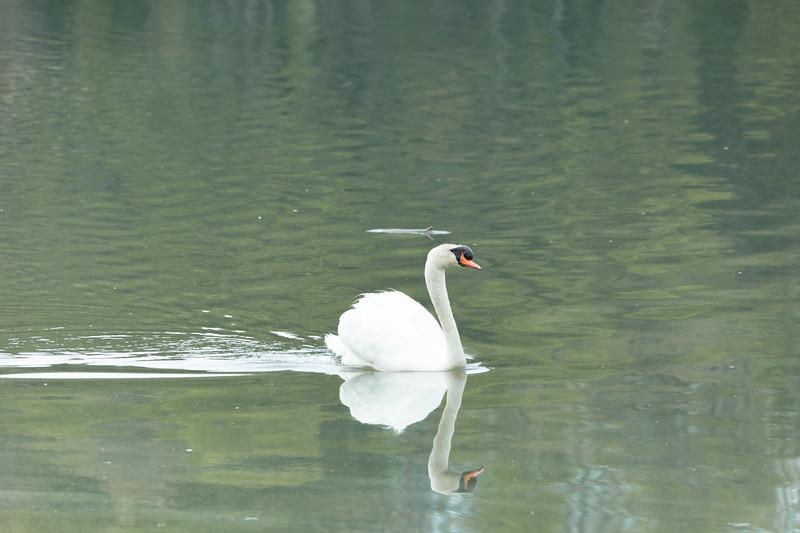 mute swan_-40.JPG