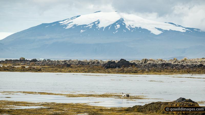 A Common Seal relaxes at Ytri-Tunga beach, beneath Snæfellsjökull