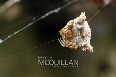 Celaenia spp (bird dropping spiders)