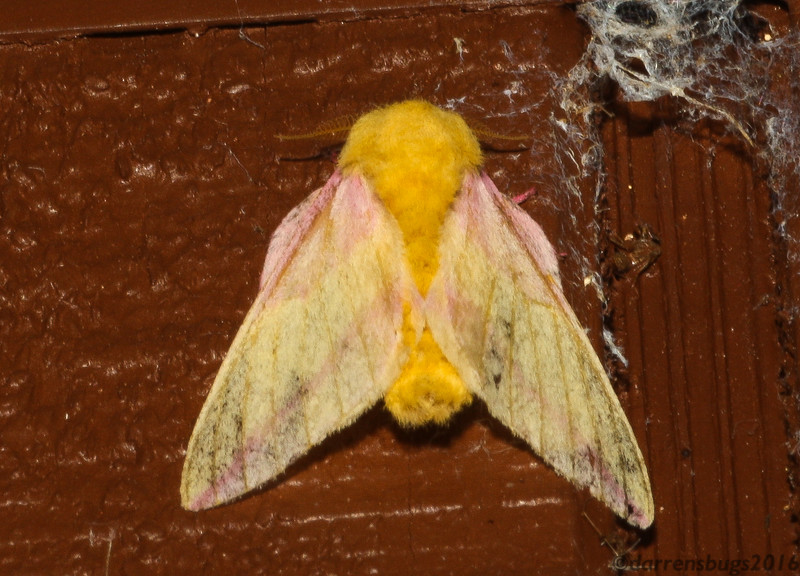 Rosy Maple Moth, Dryocampa rubicunda, from Wisconsin.