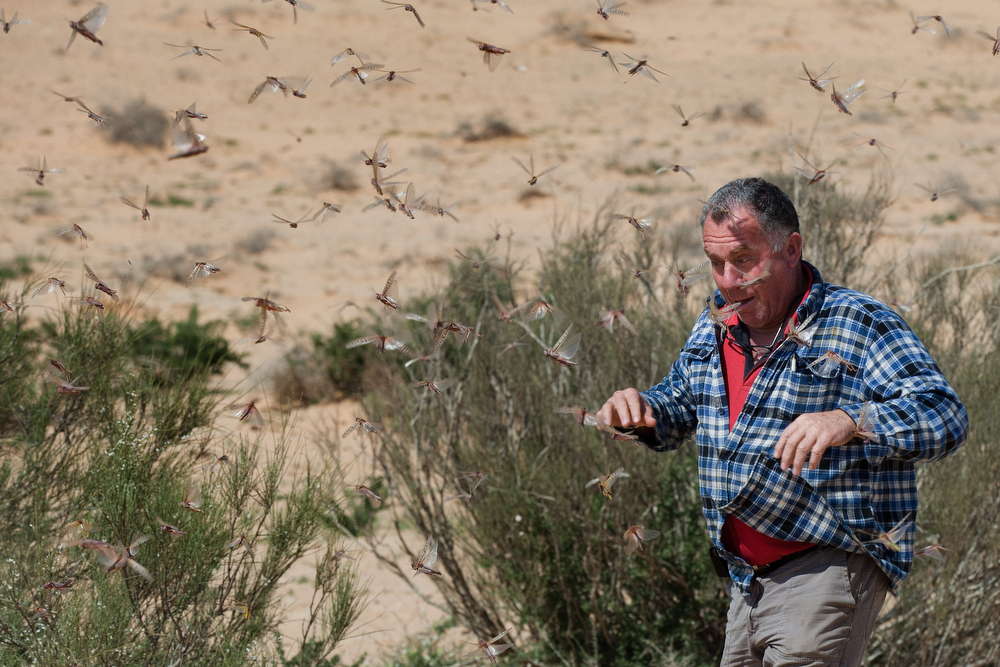 . An Israeli man runs through a swarm of locusts arriving over the Negev desert near the Egyptian border on March 6, 2013 in Kmehin, Israel. Egypt and Israel have been swarmed with millions of locusts over the past few days causing wide spread disturbances.  (Photo by Uriel Sinai/Getty Images)