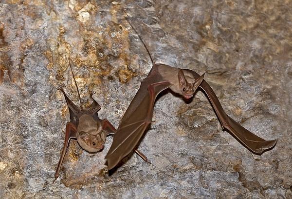 Lesser Rat - Tailed Bat -יזנוב קטן