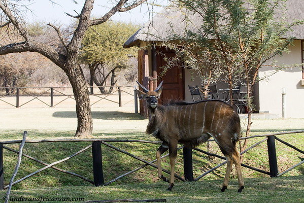 Male Nyala at Mogena