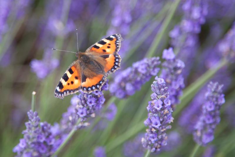 Hitchin Lavender 2016