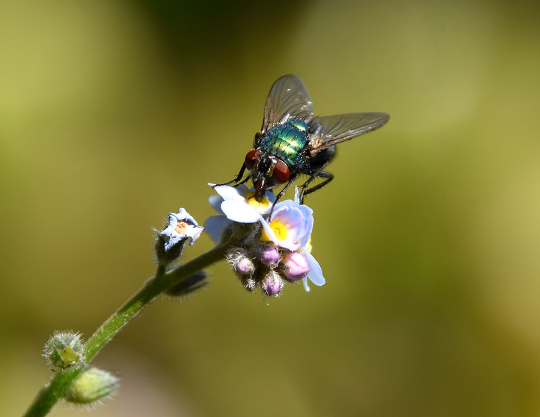 Fly-forget-me-not3-rjduff.jpg