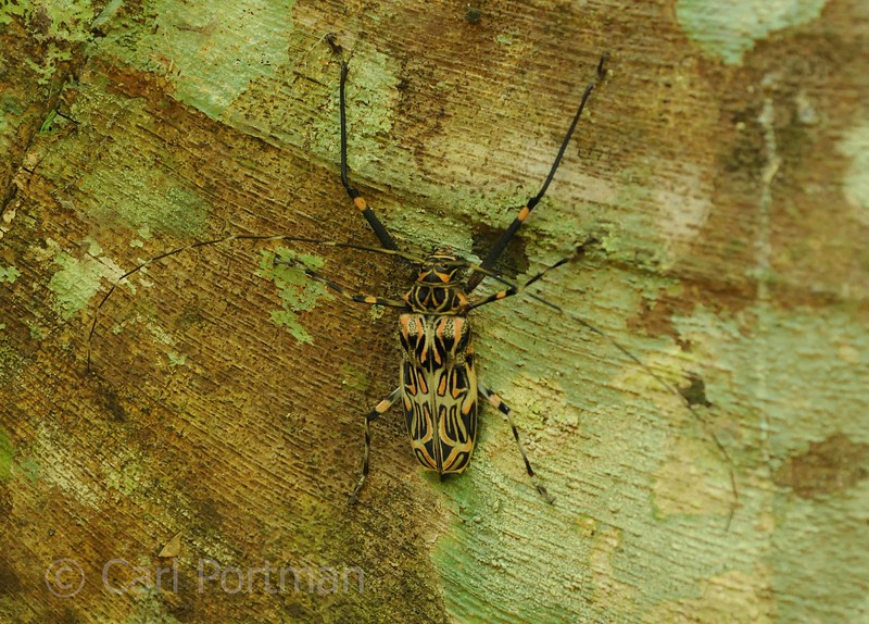 harleqion beetle.jpg
