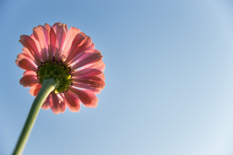 back of a pink daisy at Tudek Park.jpg