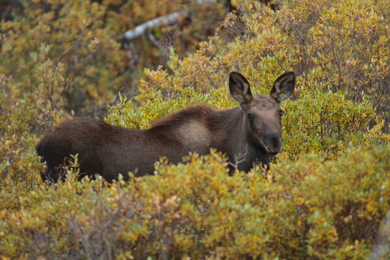 . A juvenile moose stands in the thick brush in the area, not too far from where the bull and cow moose were roaming.  (Werner R. Slocum/The Denver Post)