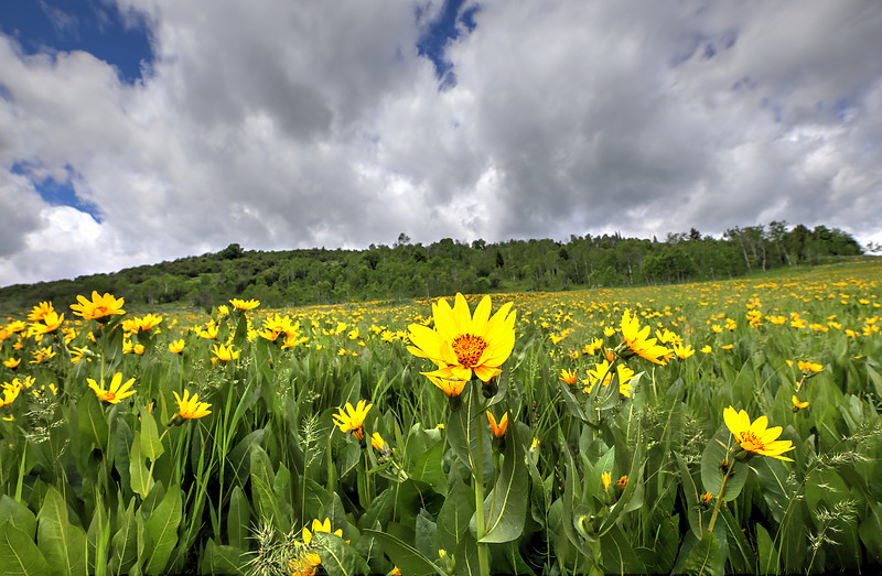 LoganUT_ArrowLeafBalsamRoot_Focus_0187_91_Opt.jpg