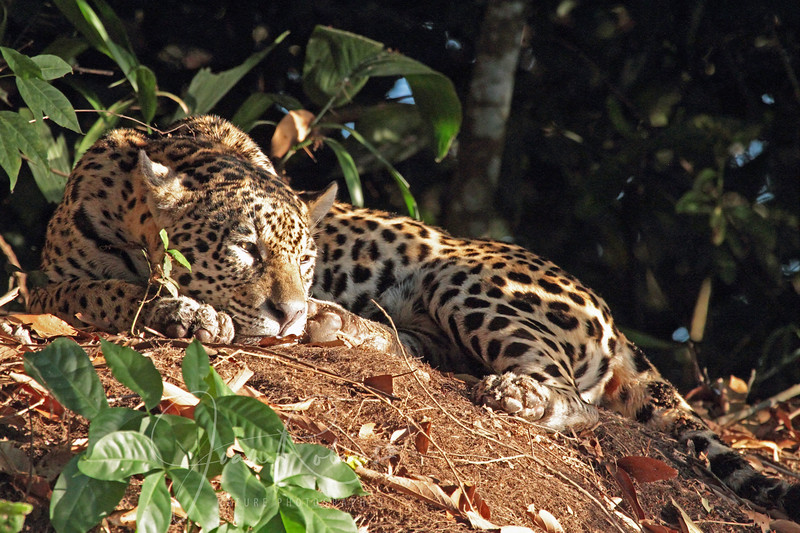 This young female ate part of her catch this day and finished it off the next day. Sheri was the keen spotter of this Jaguar. I'm calling her Dottie.