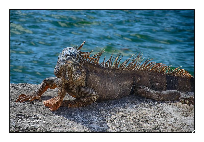 Lizard sm.jpg