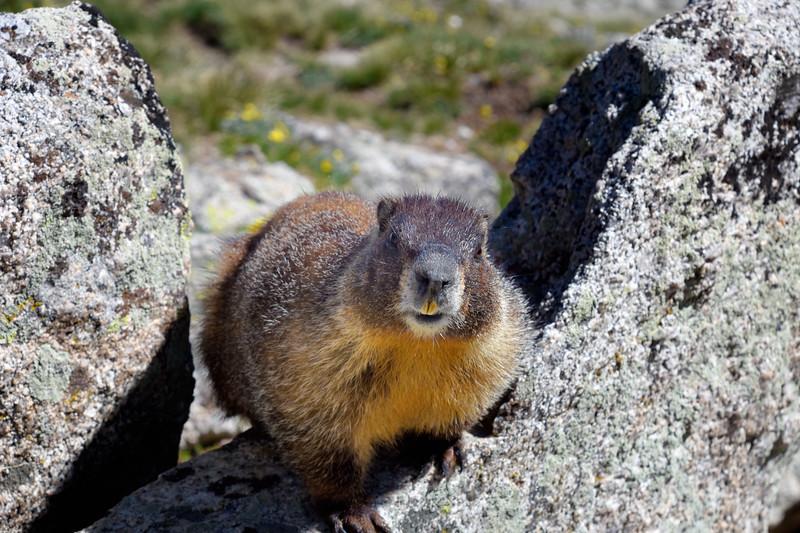 Marmot-LaPlataPeak2.jpg