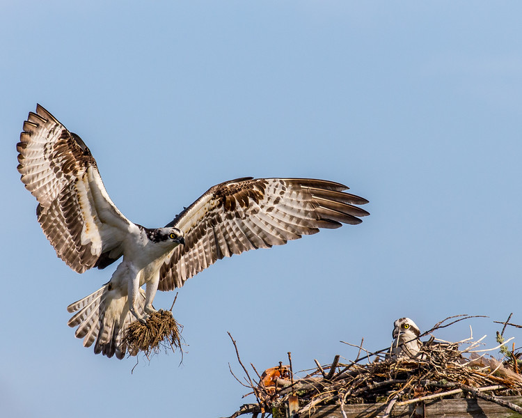 A male osprey bringing nesting material to the nest