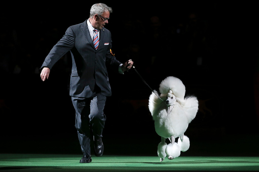 . Ally, a standard poodle, enters the ring for the best of show competition the Westminster Kennel Club dog show, Tuesday, Feb. 11, 2014, in New York. Ally, the runner-up, won reserve best in show. (AP Photo/John Minchillo)
