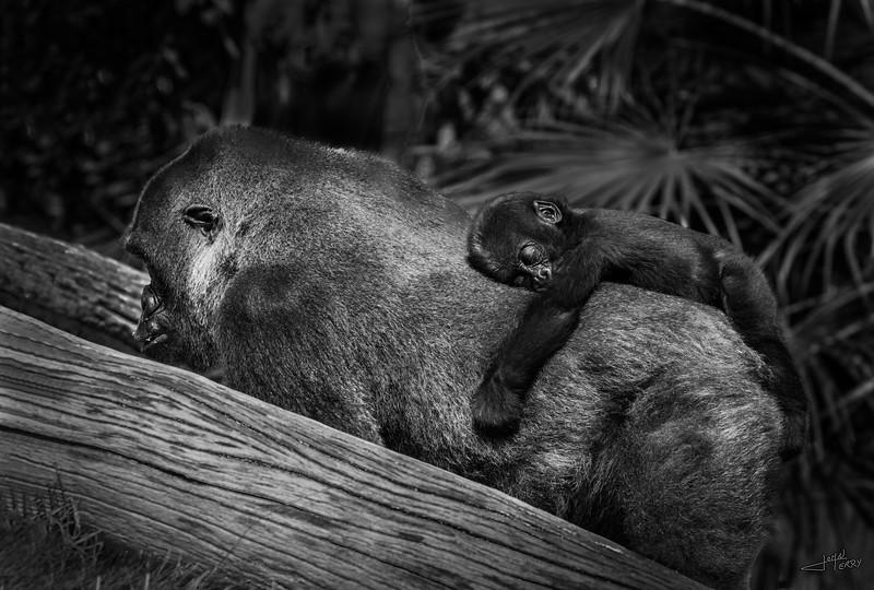Gorilla and Infant B&W-2.jpg