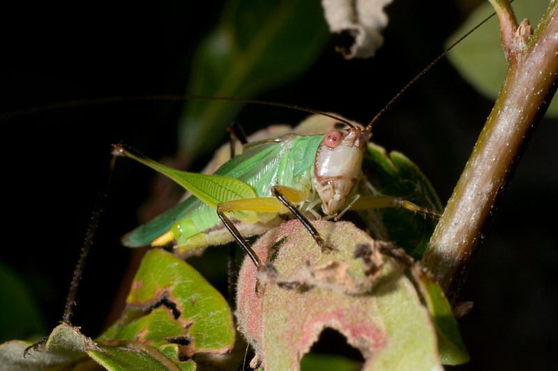 Handsome Meadow Katydid D8220