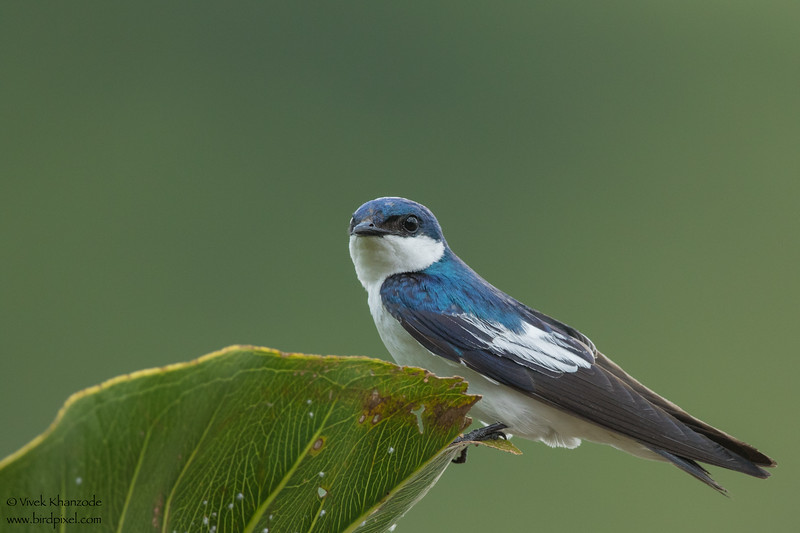 White-winged Swallow - Amazon, Ecuador