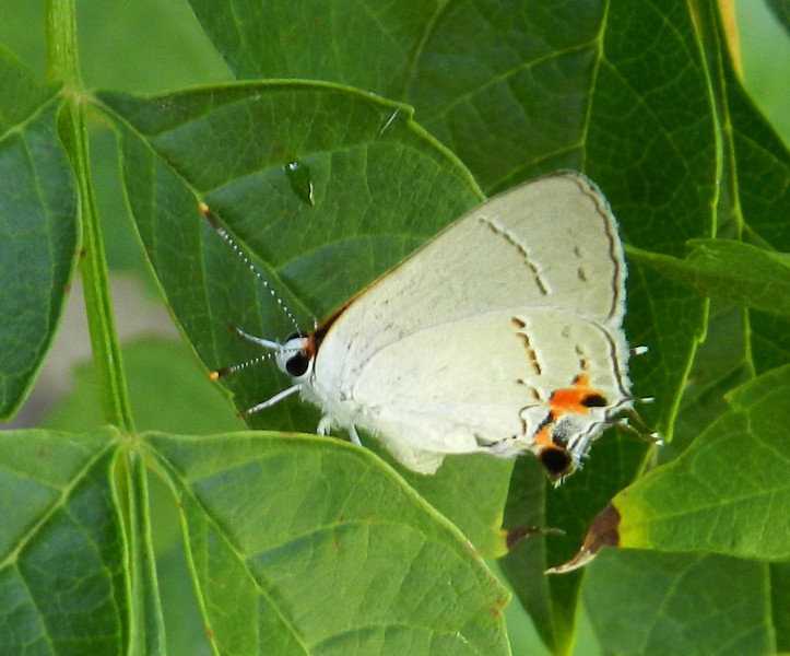 Gray Hairstreak on leaves best.jpg